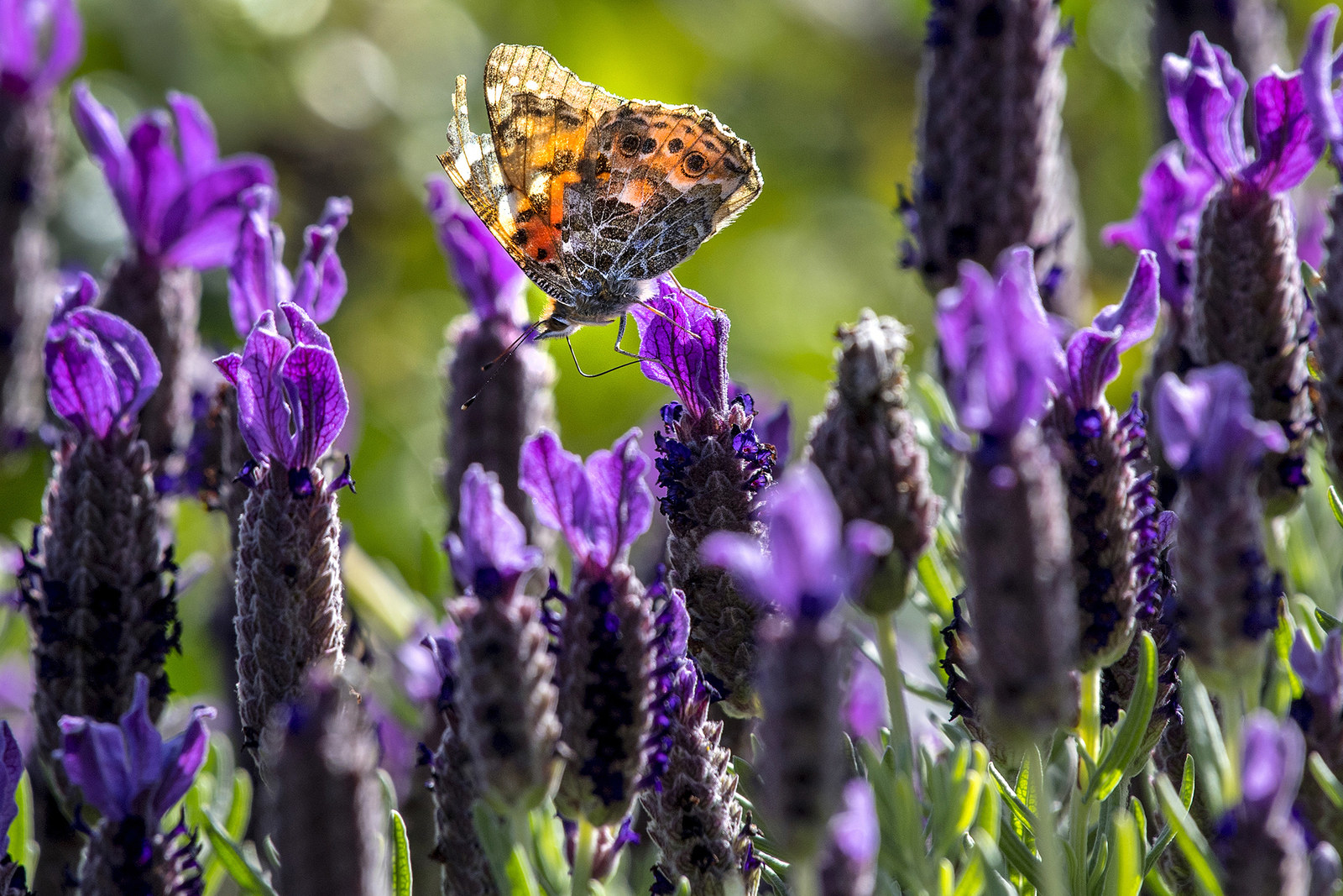 A painted lady butterfly lands on a flower in North Tustin, California, March 13.