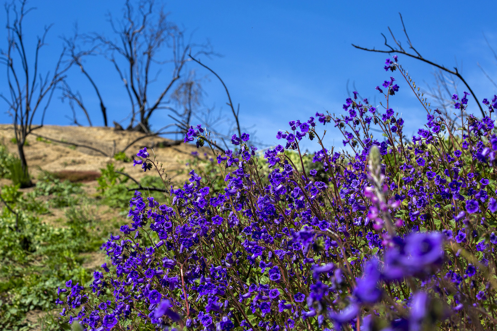 Canterbury bells bloom near the charred remains of the Holy fire, March 15.