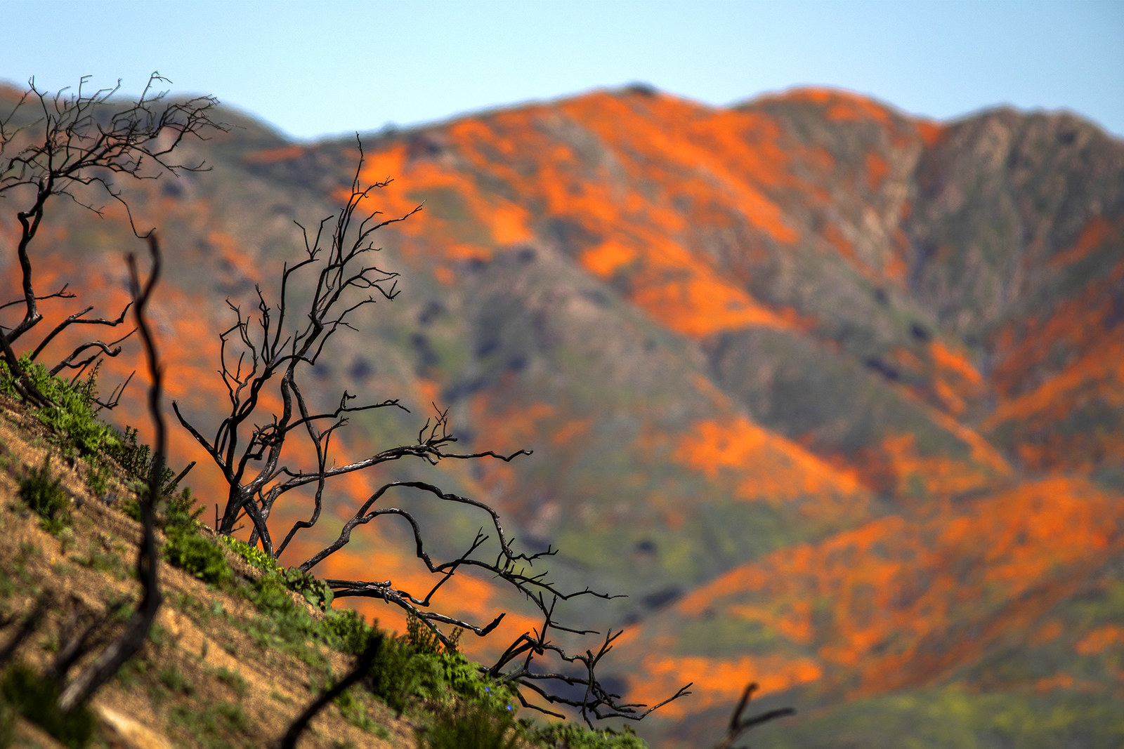 California poppies bloom near a hill that was burned by 2018's Holy fire, in Lake Elsinore, March 15.