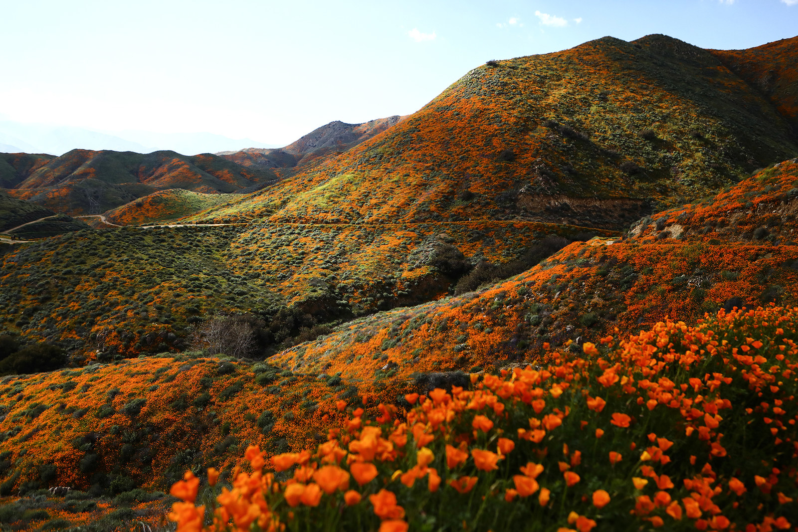 Wild poppies on the hills of Walker Canyon, March 12.