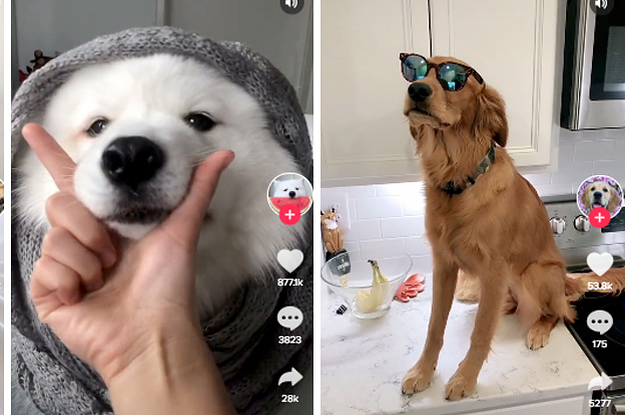 Die 57 witzigsten Hunde-Videos auf TikTok – bisher