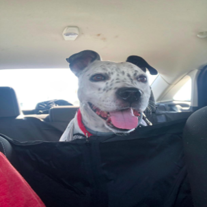 large dog sitting in the back seat of the car