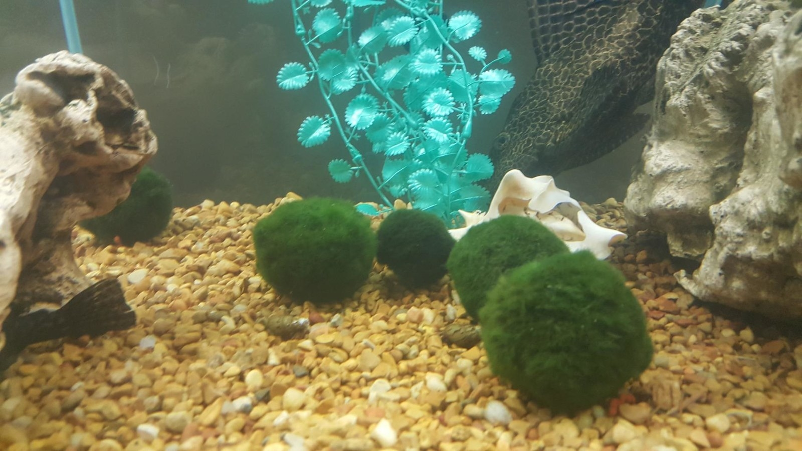"Promising review: ""These are like little green tribbles — without the cooing and rampant reproduction! I got them for my betta. A couple of the little ones keep the water amazingly clean! I also teach biology, and I love the Japanese culture associated with these unusual algal spheres (they aren't actual moss, but relatives of their ancestors). They are fun just as pretty little pets to have on one's desk or other not-too-brightly lit place. And they routinely pack a couple extras in each container!"" —Kathleen FrancisGet a set of six from Amazon for $12.95."