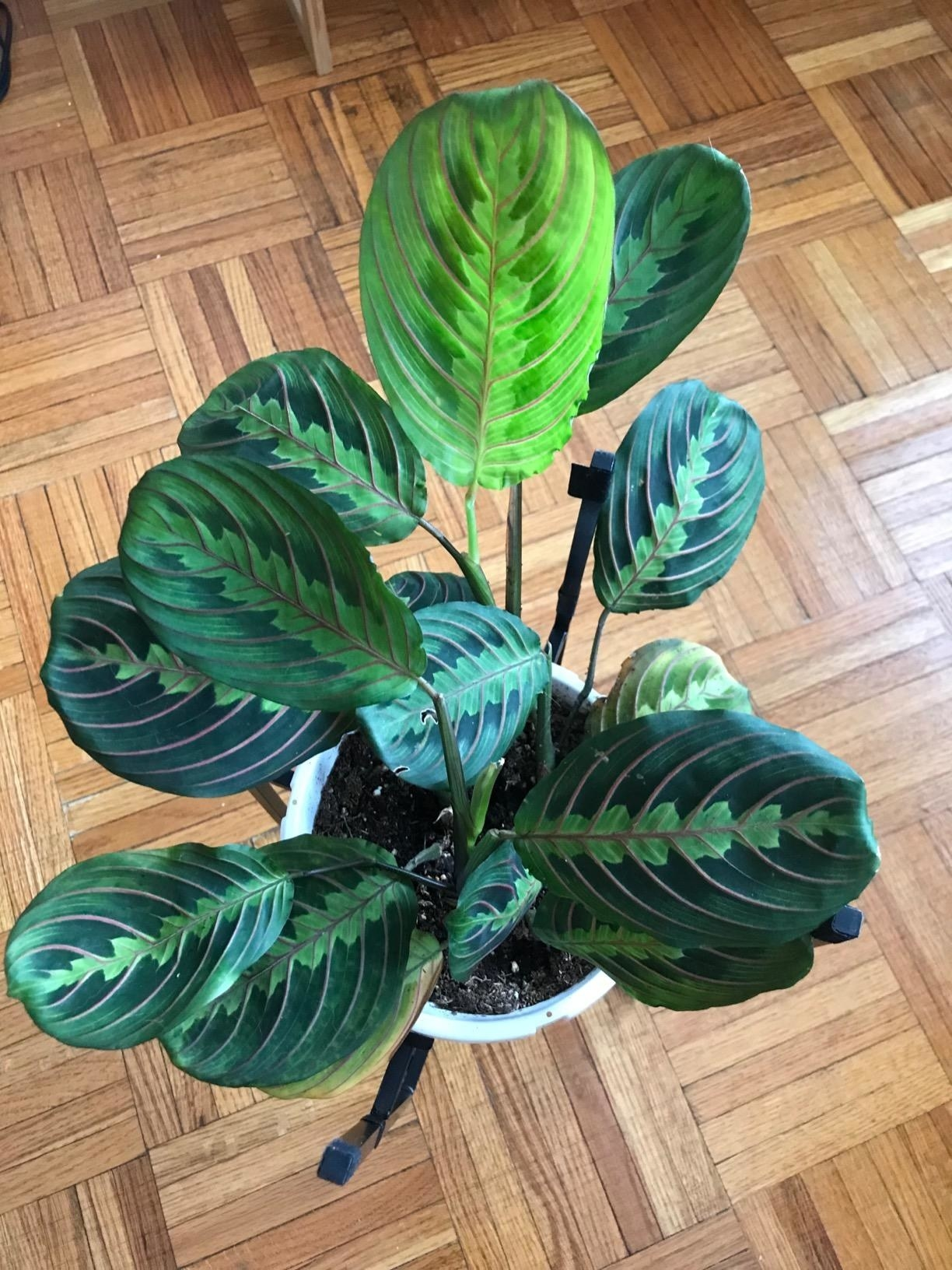 "Promising review: ""Probably one of my all time favorite plants!! So beautiful and I love that it 'prays' at night. I have found that these really like to be grouped with other plants and kept in areas of high humidity. I have mine in the bathroom with other plants and also sitting in a tray or rocks with water. It has grown tons of new leaves and has even flowered. Love this plant and highly recommend it."" —Courtney RaoGet it from Amazon for $15.54."