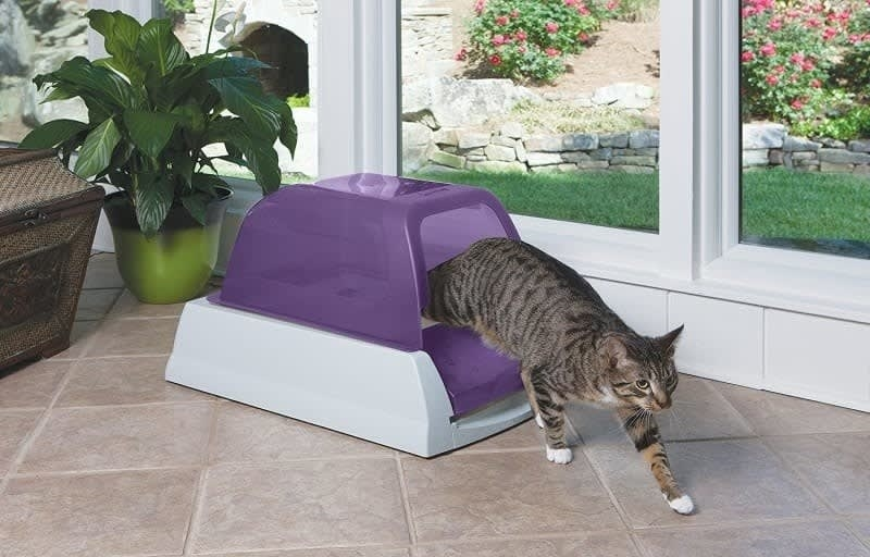 The litter box with a light grey bottom and purple top in a room with a cat coming out of it