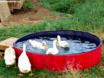a group of ducks swimming in the pool