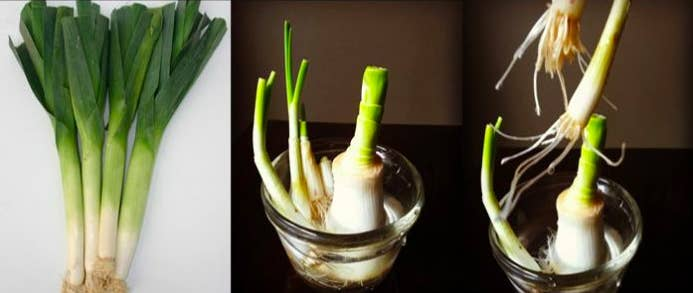 How to grow: Slice off the green leaves and place the white base in a small bowl filled with water. In a few days, watch as green leaves sprout into edible leaves. Read the full instruction on how to regrow leeks here.