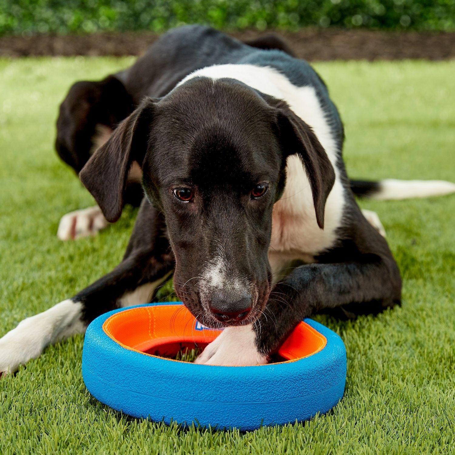 A large dog with a big, thick wheel-shaped chew toy