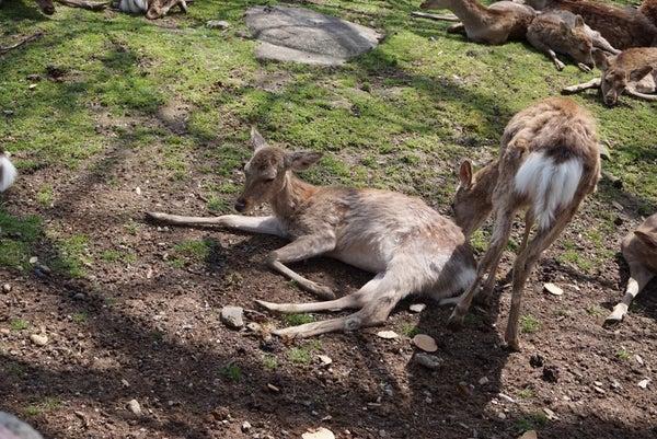 連休疲れで何もやる気にならない様子のこちらの鹿さん。わかる……君の気持ちが痛いほどわかるよ……。