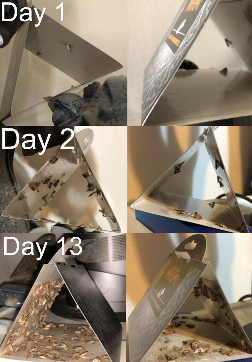 A photoset showing the progression of the moth trap from 1 to 13 days, with each image showing an increased amount of moths caught in the moth trap