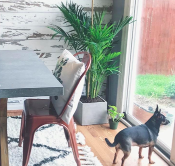 A customer review photo of the plant next to their pup