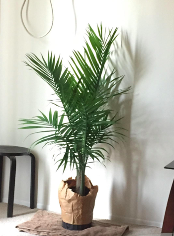 A customer review photo of the plant in their house