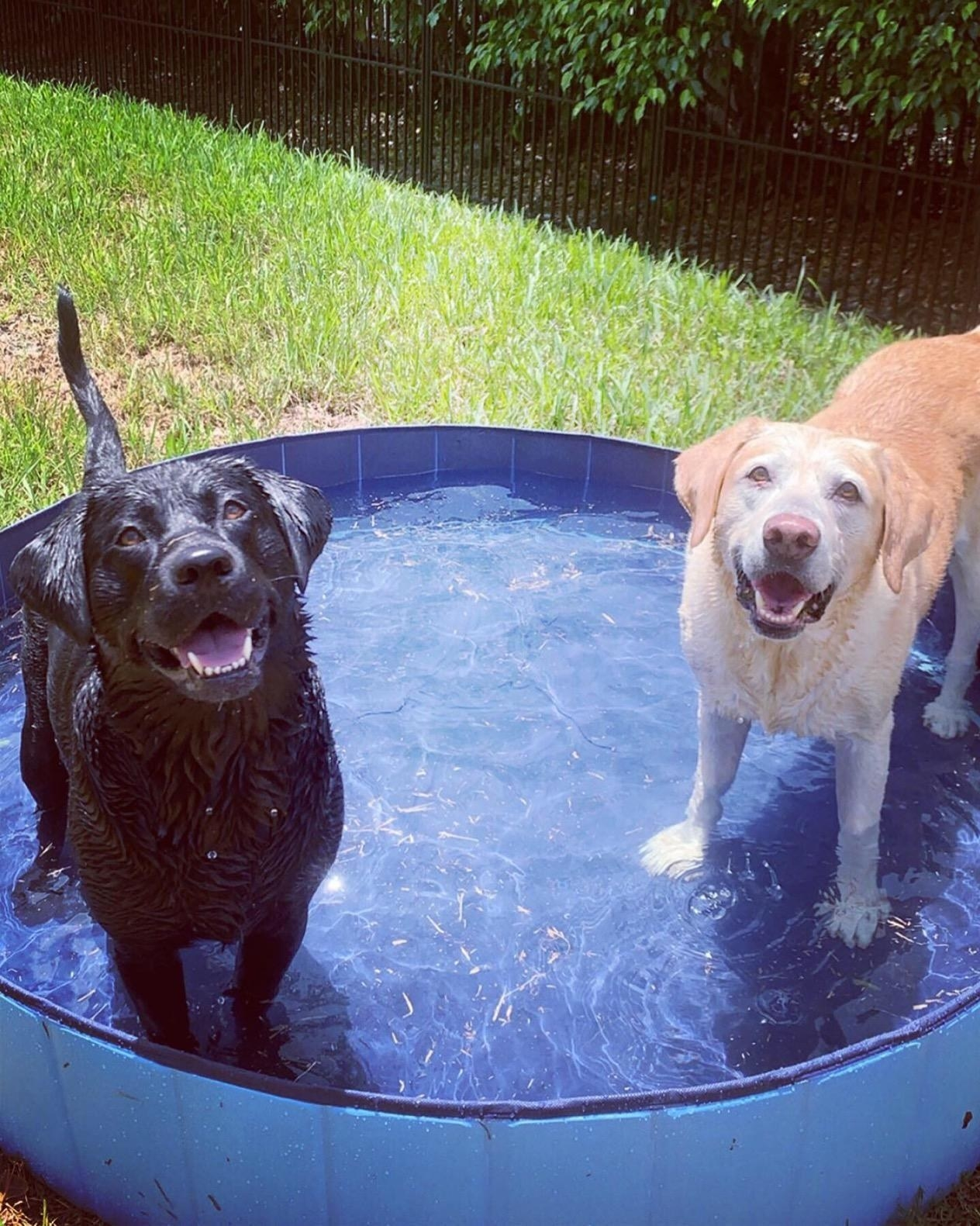 A reviewer's two labradors in the big, blue pool that fits both of them; they're wet with big doggy smiles on their faces