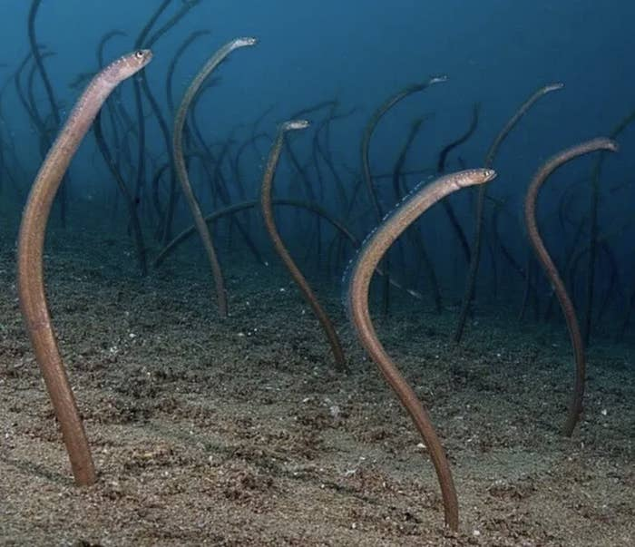 Dozens of eels sticking out of the ground underwater.