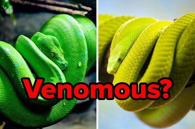8 Of These Snakes Are Venomous — Can You Pick The One That Isn't?