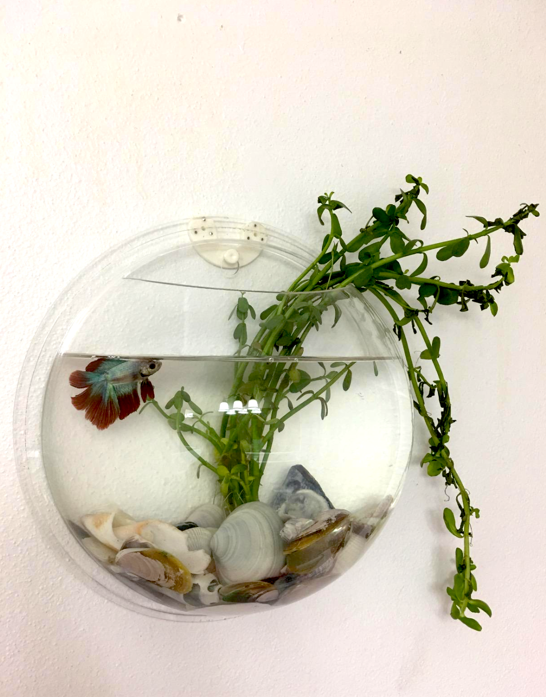 A mini aquarium shaped like a half-sphere. It's about the size of an average basketball and has a fish and water plant inside with seashells.