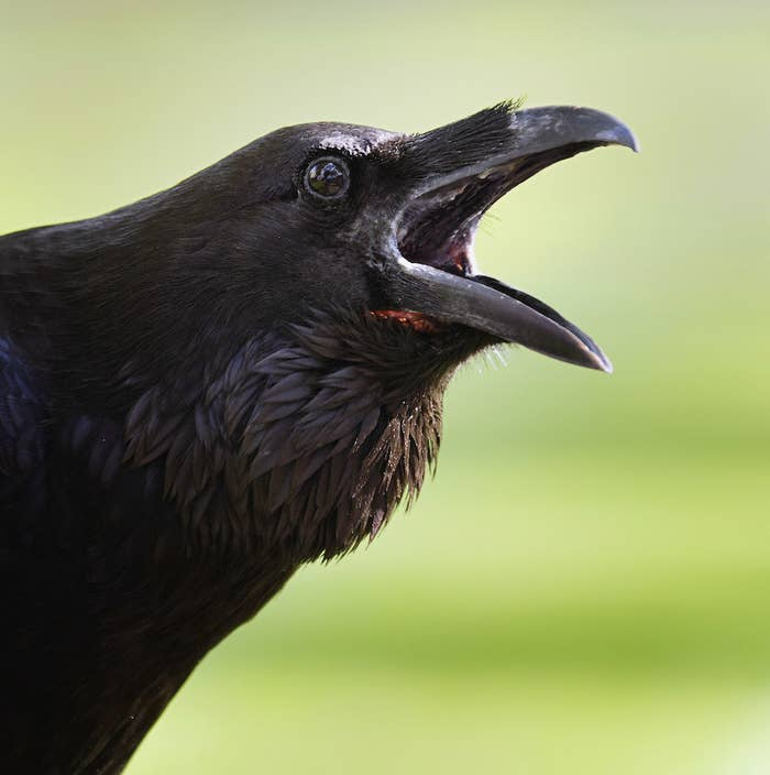 People Are Divided About Whether This Animal Is A Raven Or A Rabbit, But We Got Answers