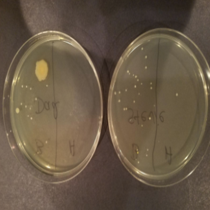 two petri dishes showing the bacteria from phones before/after using the phonesoap