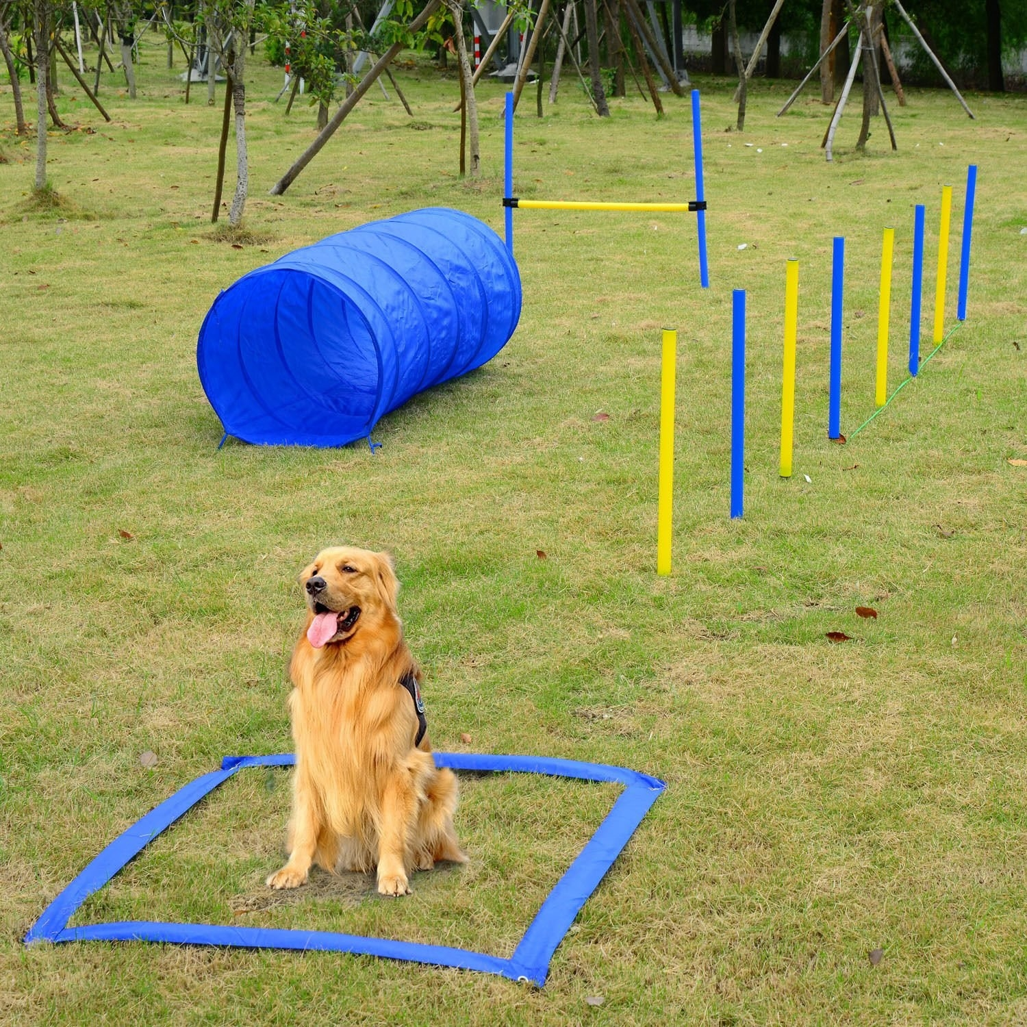 Dog on agility square start spot with a collapsable tunnel, jump, and agility poles set up in yard