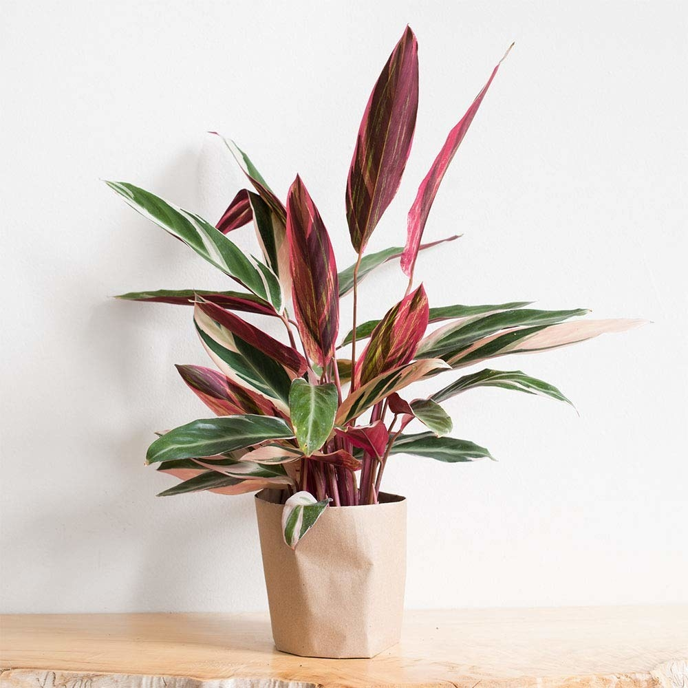 live plant with long pointed green leaves with stripes of light pink and white plus hot pink bottoms