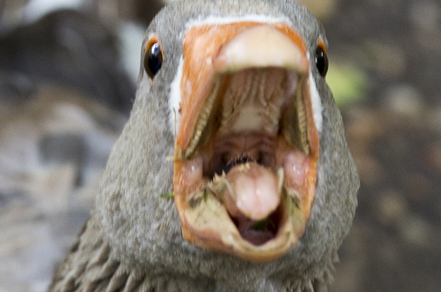 I Just Learned Geese Have Teeth On Their Tongues And I Hate It