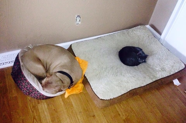 17 Dogs That Were Evicted By A Cat From Their Very Own Beds