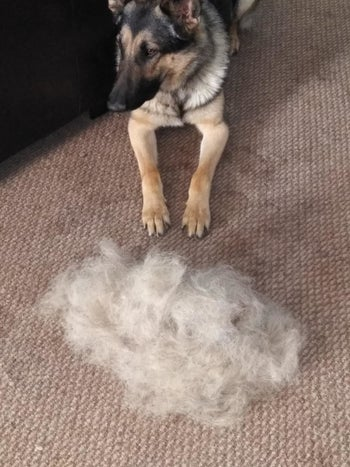 Reviewer photo of their German shepherd sitting next to a massive pile of fur that the broom pulled out of the carpet