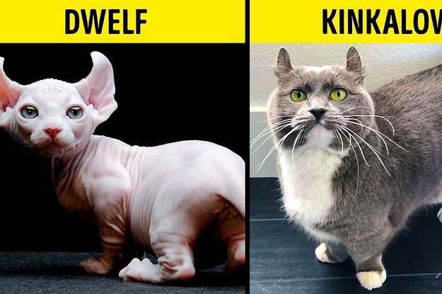 16 Rare House Cat Breeds We Didn't Know Existed