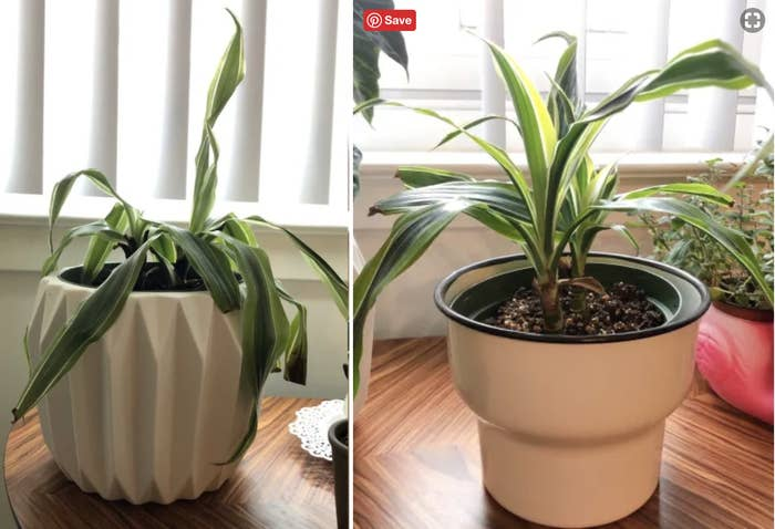 A reviewer's plant in two photos: on the left looking wilted, and on the right with the leaves standing tall