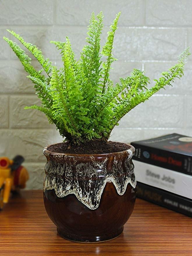 A fern in a brown pot