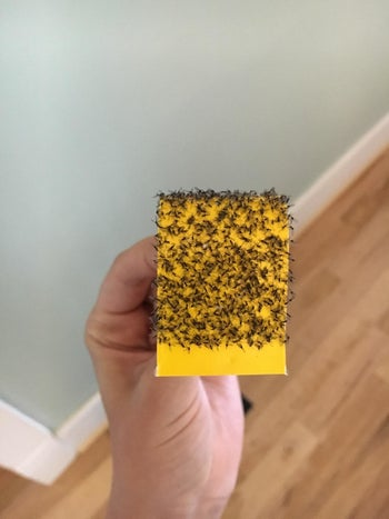 Reviewer holding a trap that is almost completely covered in gnats