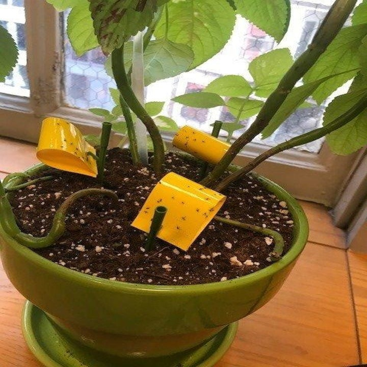 Reviewer photo of three sticky traps in one pot
