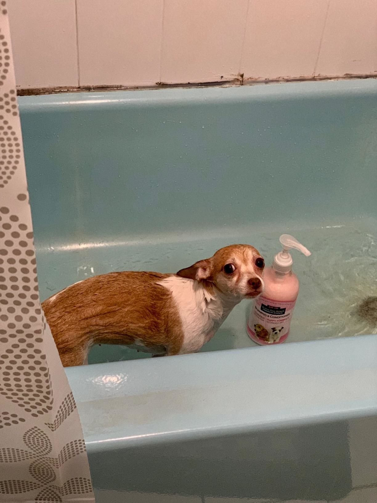 wet dog in bath next to large shampoo bottle with pump