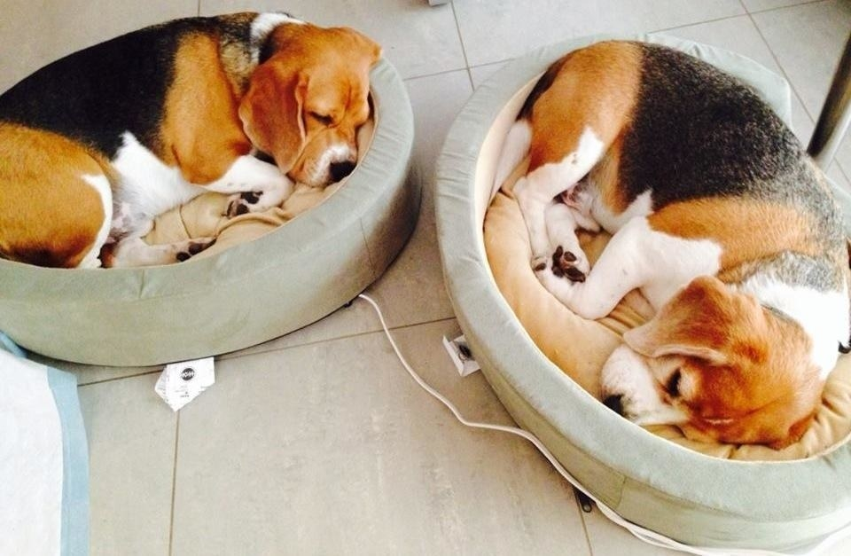 two beagles sleeping in round beds