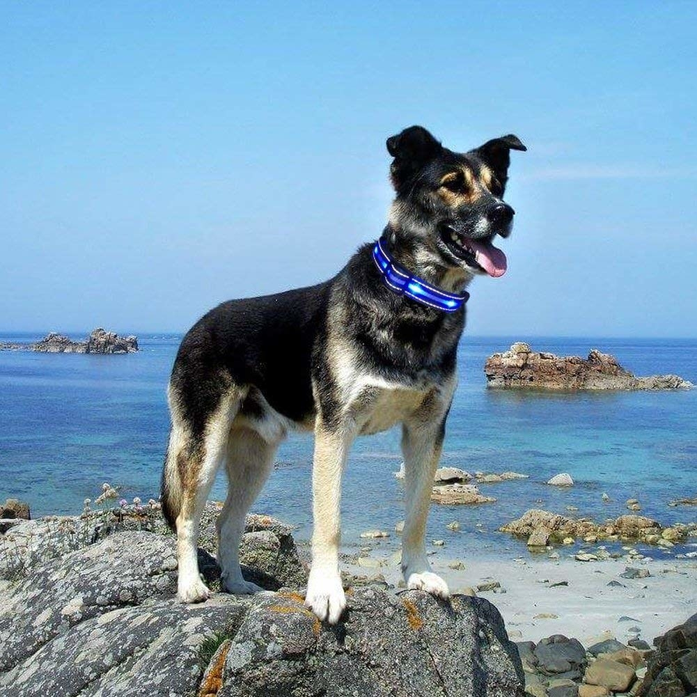 A dog standing on a rock with the collar on