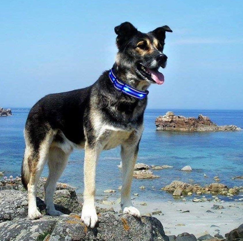 A dog standing on a rock by a beach with the collar on