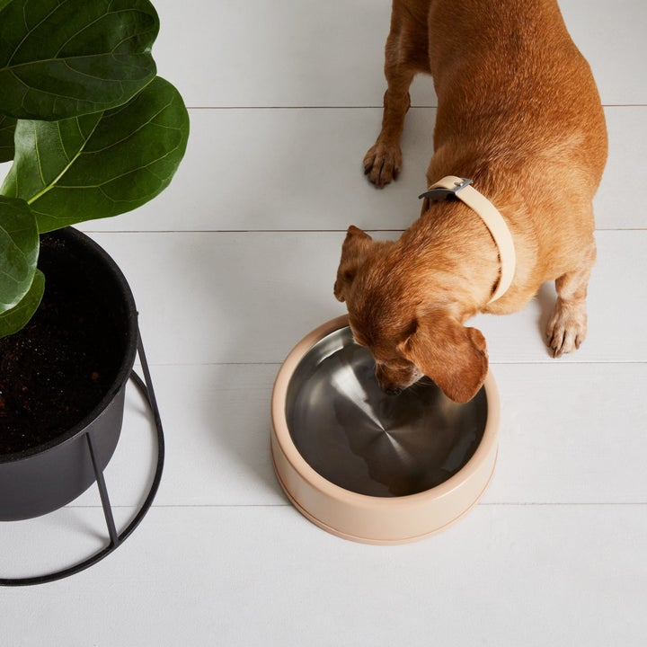 Dog drinking out of stainless steel bowl