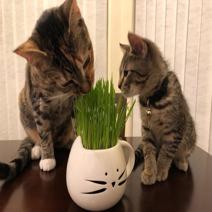 Reviewer photo of their two cats eating the grass