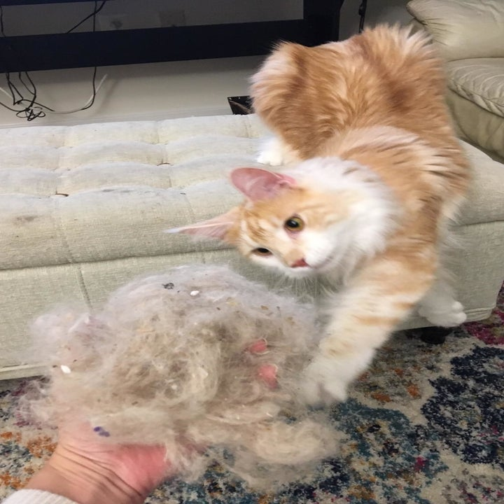 Cat reaching out to grab reviewer's ball of pet fur pulled from carpet