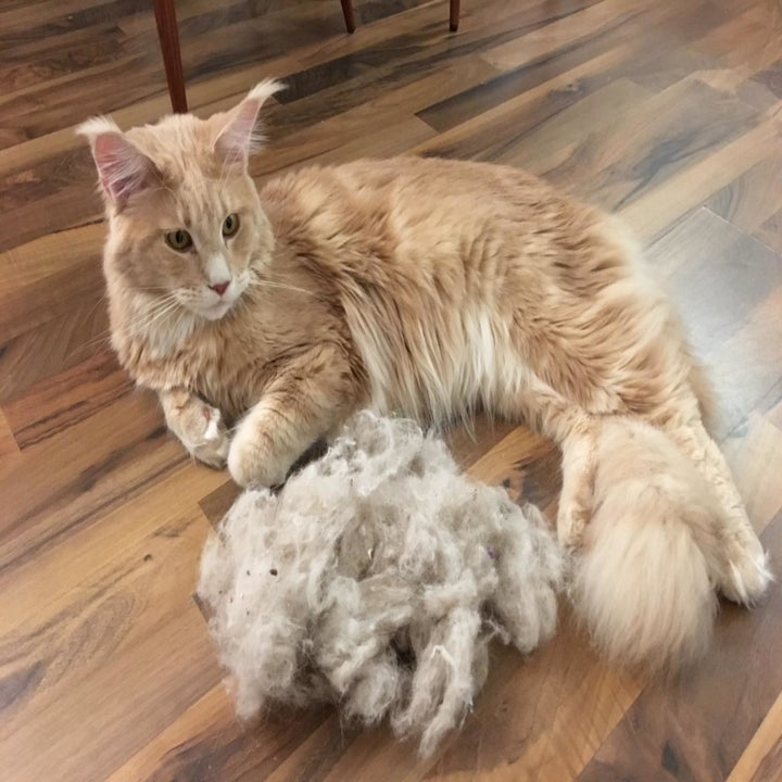 Reviewer photo of their cat sitting next to a pile of fur that the broom collected, which is almost as large as its body