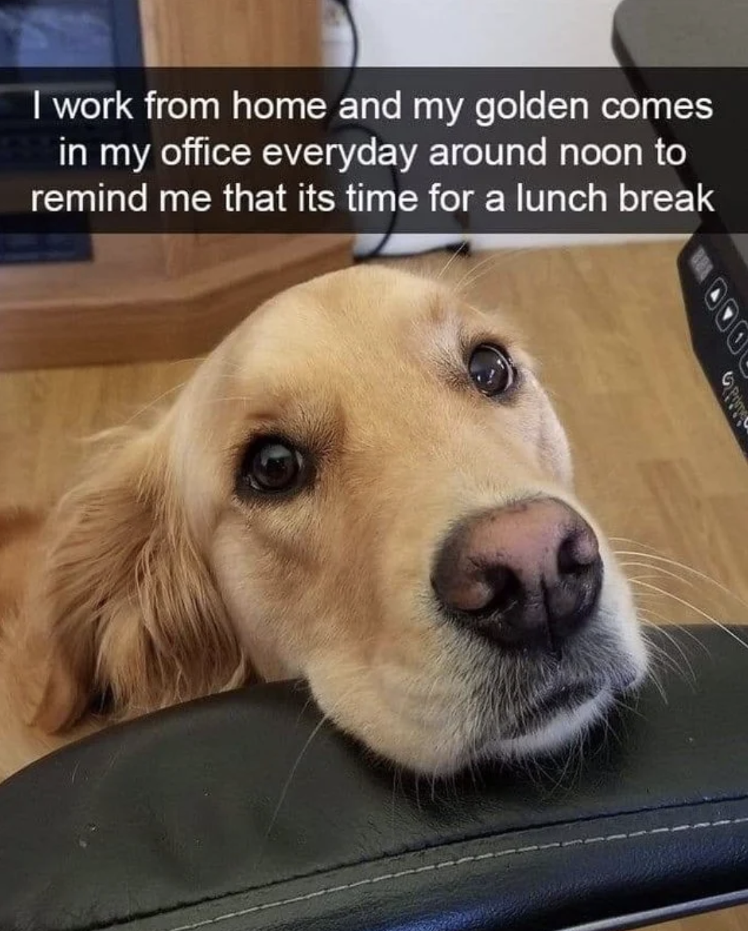 """A golden retriever resting his head on a desk chair with the text """"I work from home and my golden comes in my office everyday around noon to remind me that it's time for a lunch break"""""""