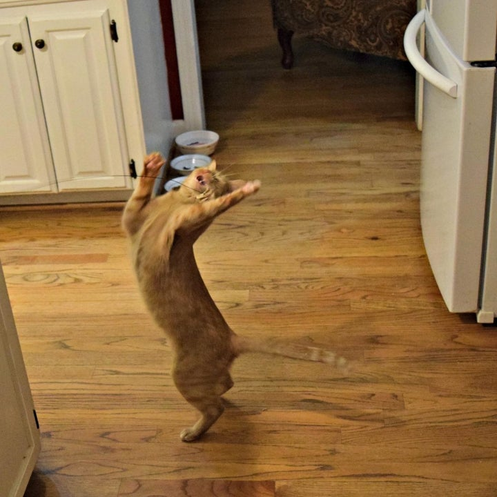 Reviewer photo of their cat standing on its hind legs to grab the toy