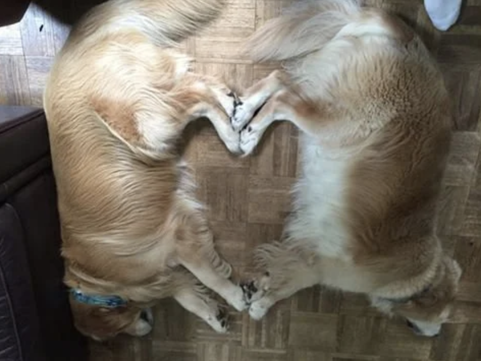 Two golden retrievers napping with their paws touching, creating the shape of a heart