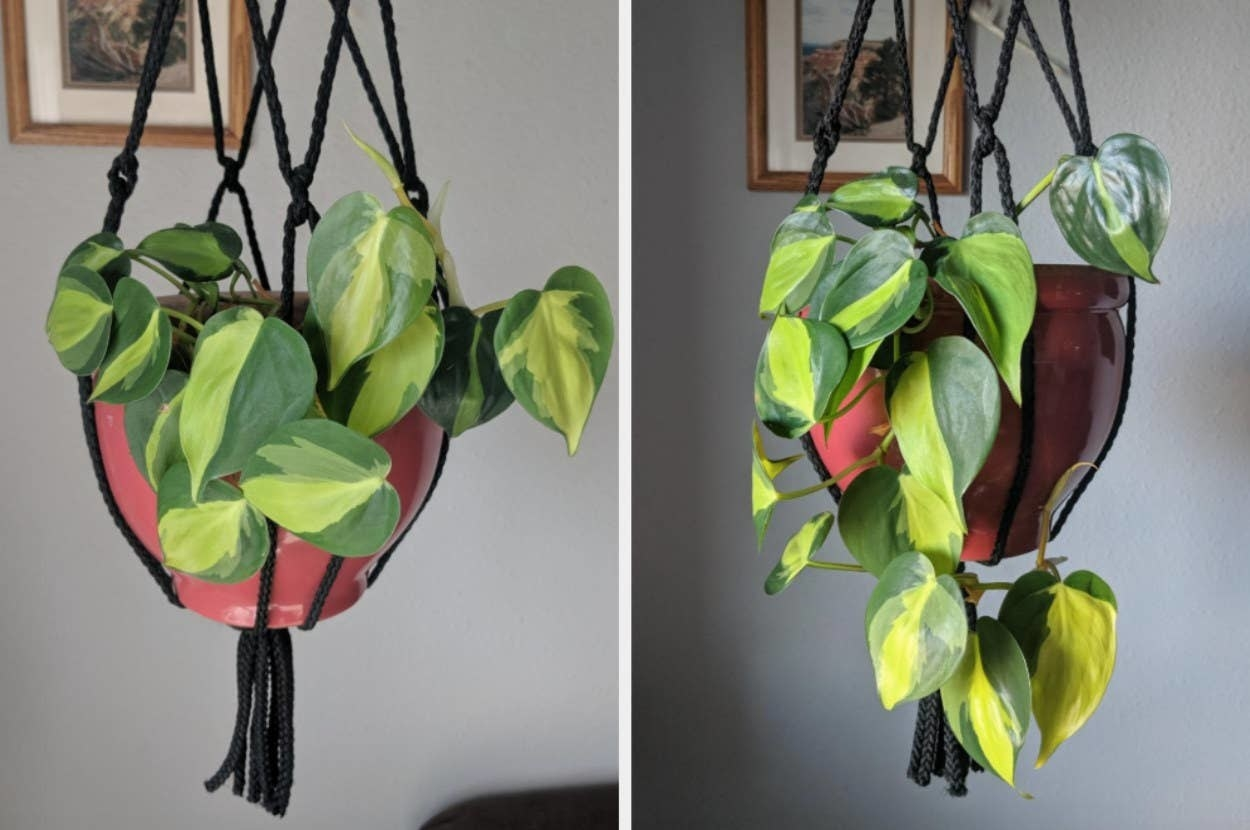 On the left, a hanging plant, and on the right, the same hanging plant, but its leaves grew healthy and long from the plant food spike