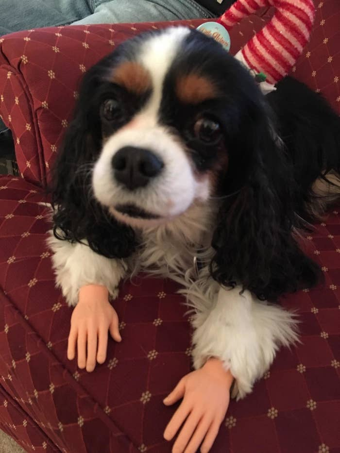 dog with plastic hands on its paws