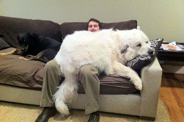 17 Huge Dogs Who Apparently Still Think They're Puppies