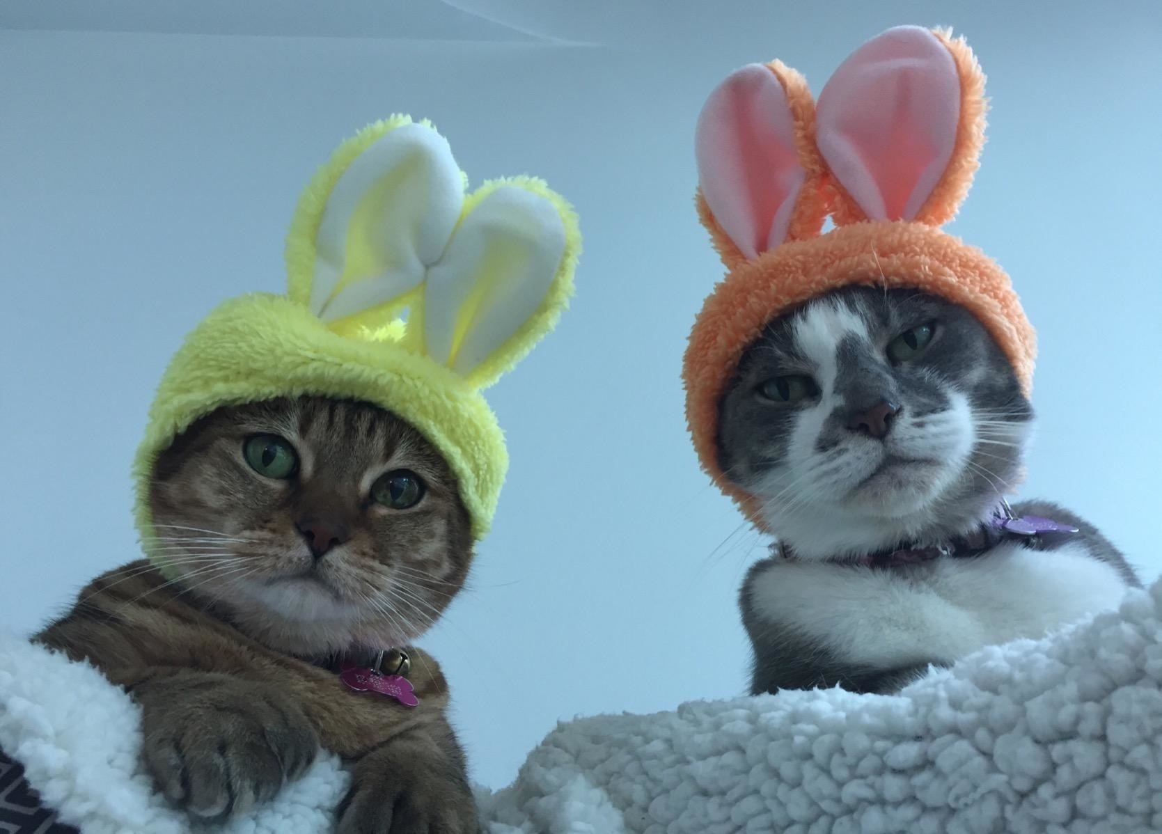 two cats wearing the little hats with bunny ears on them. The cat on the left is wearing a yellow one while the one on the right has on an orange one.
