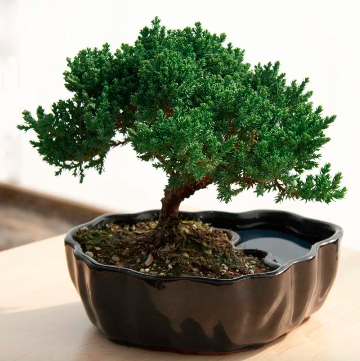 bonsai tree in a container that has a water portion that looks like a pool