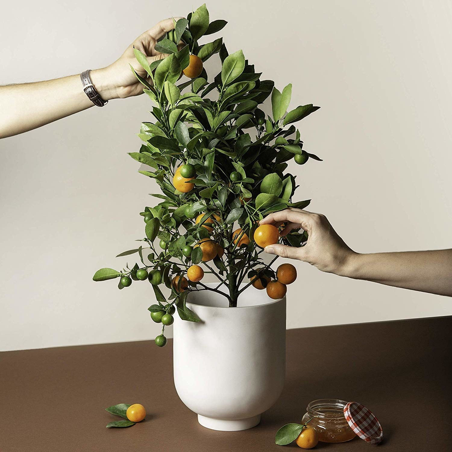 Hands picking citrus off the plant.