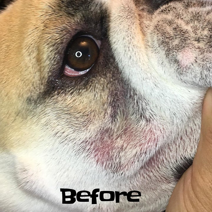 Before photo of a bulldog with red, irritated skin folds